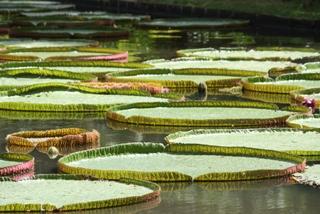 Botanischer Garten von Pamplemousse